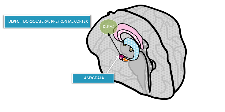 Greater connectivity between Amygdala and DLPFC which is associated with a reduction in threat processing when viewing different facial expressions