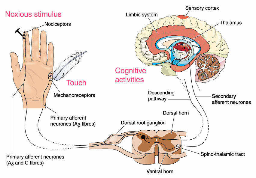 When a peripheral injury occurs the nociceptive stimulus is transmitted by primary afferent neurons to the dorsal horn neurons. The dorsal horn neurons in the spinothalamic tract project to the thalamus and then to the primary somatosensory cortex resulting in the perception of pain.