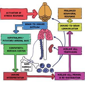 Amygdala and bone marrow connection (Copy)