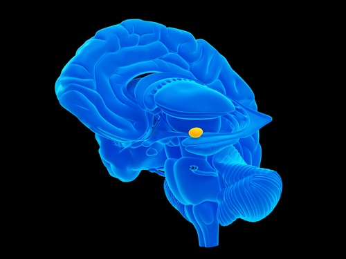 Amygdala- Almond shaped structure situated in the temporal lobe involved closely in the processing of emotions.