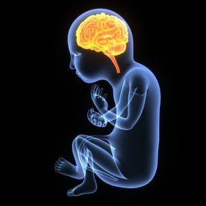 The Impact of Maternal Stress on the Fetal Brain – A Summary of Key Mechanisms