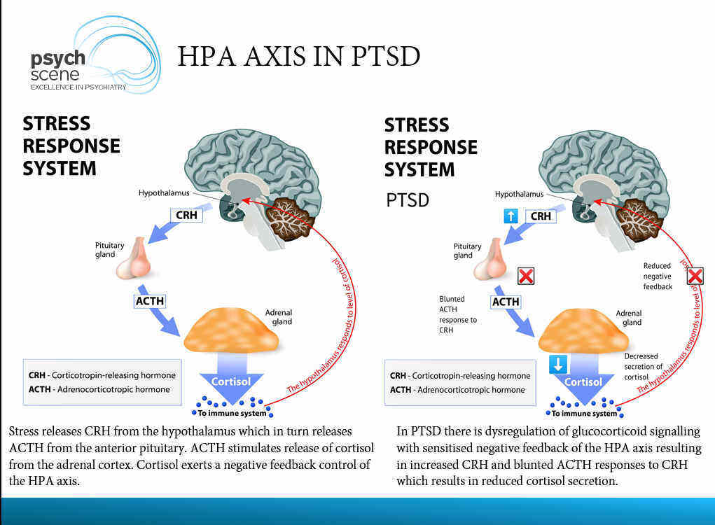 HPA Axis in PTSD